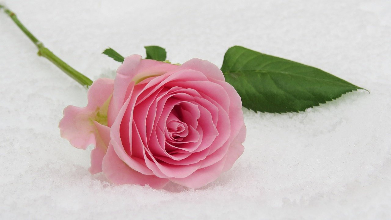 Pink Rose Day Images - Rose Pics For Rose Day , HD Wallpaper & Backgrounds