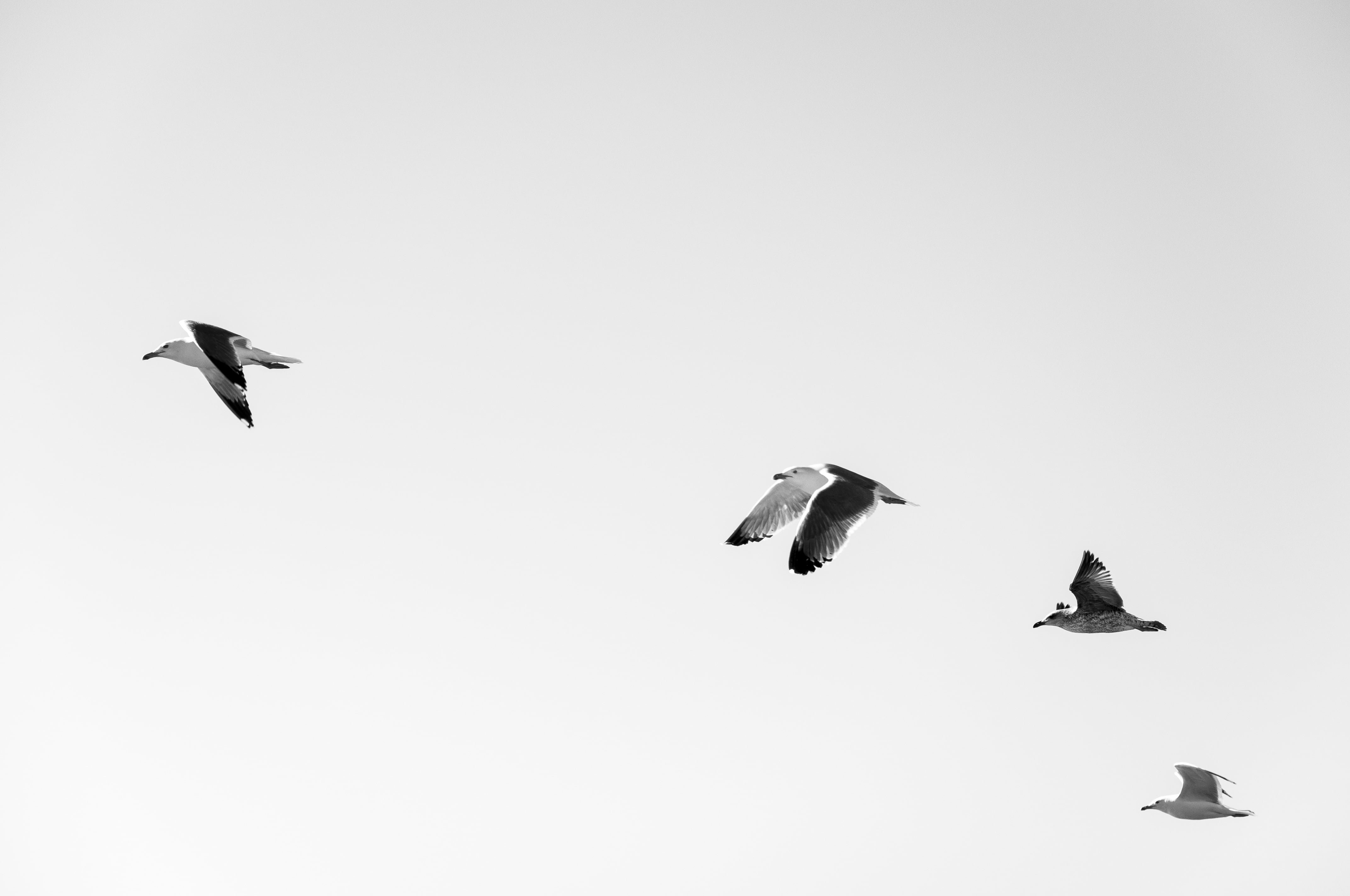 Flying Black And White Birds , HD Wallpaper & Backgrounds