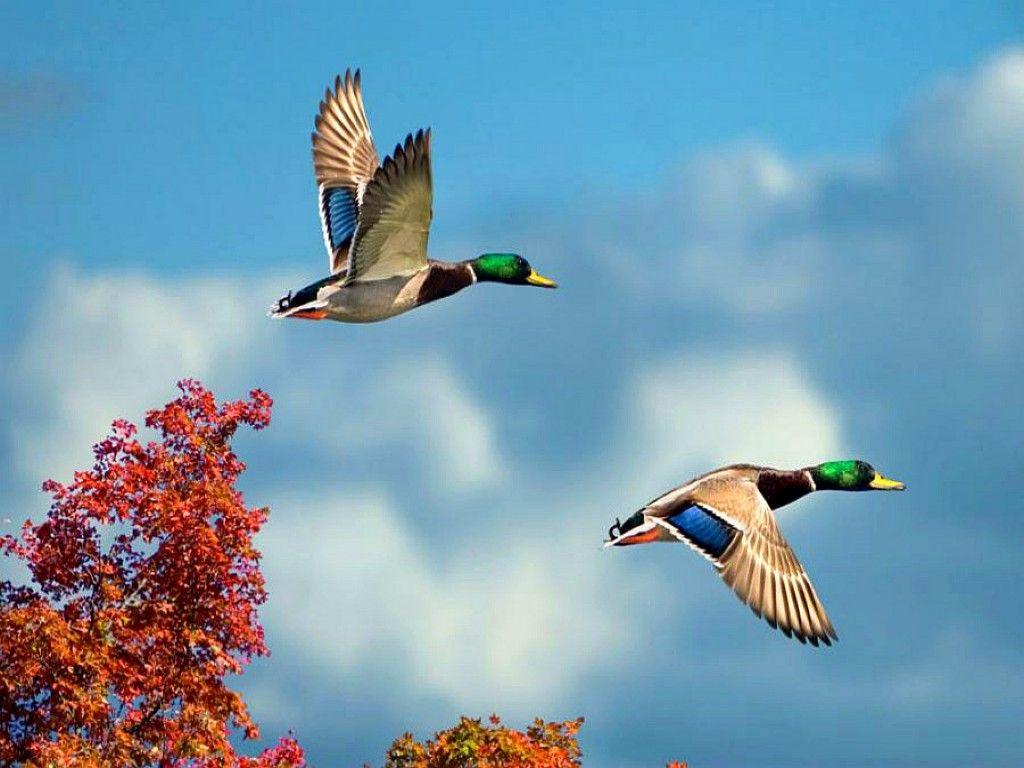 Flying Bird Image Hd , HD Wallpaper & Backgrounds