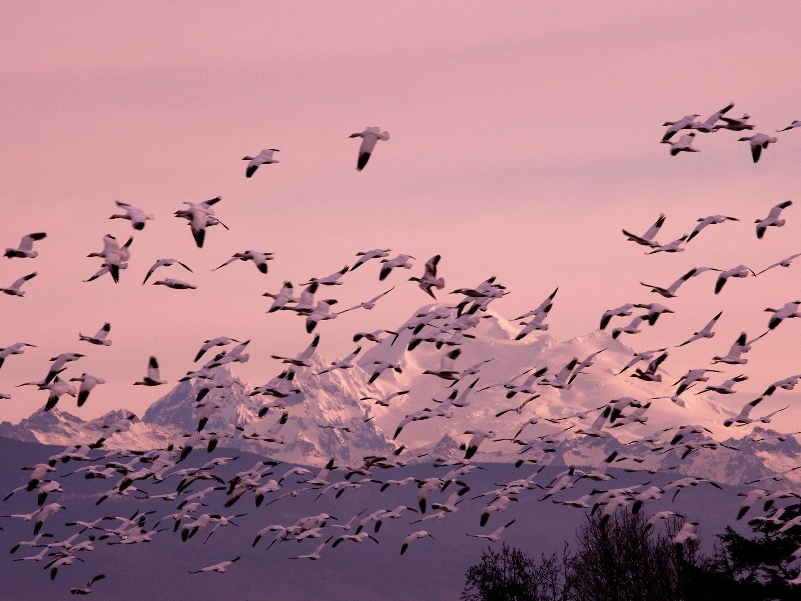 Flock Of Birds Hd , HD Wallpaper & Backgrounds