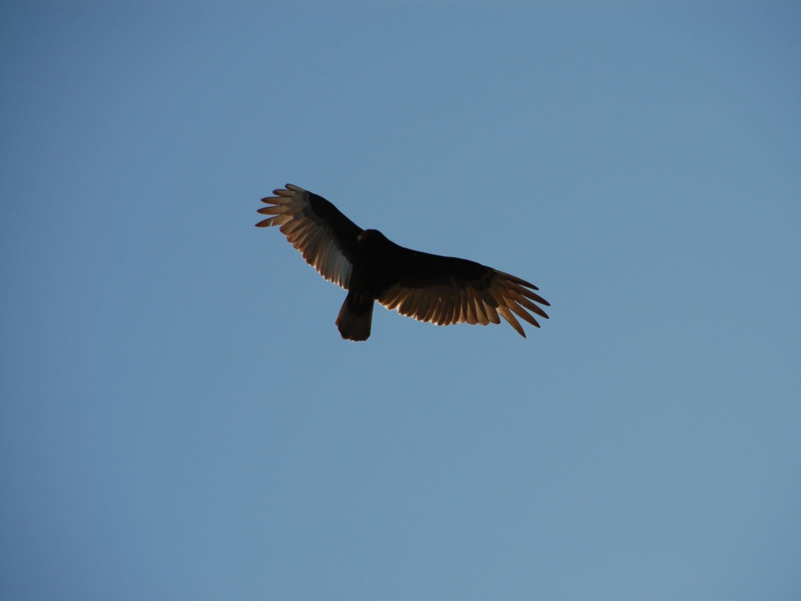 Eagle Flying - Falcon , HD Wallpaper & Backgrounds