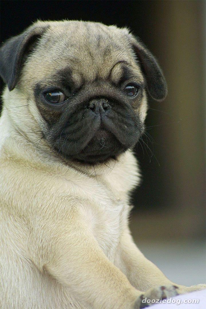 Cute Pug Puppies Wallpaper Leonardo Dicaprio Looks Like A Dog 3248733 Hd Wallpaper Backgrounds Download