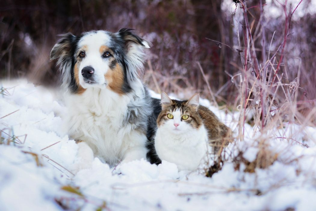 Border Collie Cat Dog Pet Snow Winter Wallpaper Cat And Dog Winter 3249488 Hd Wallpaper Backgrounds Download