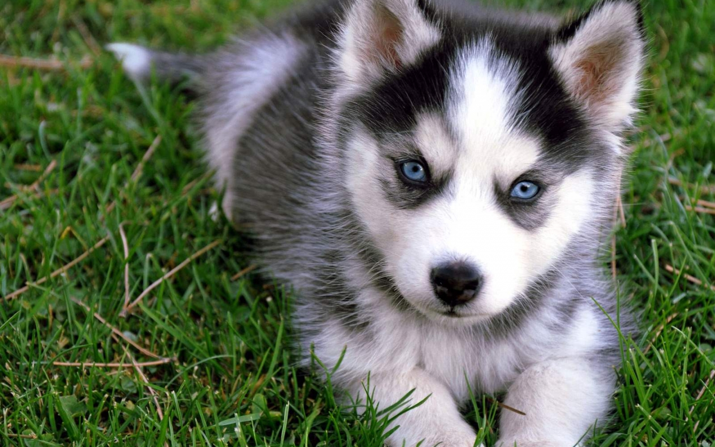 Cute Siberian Husky Puppy Sitting On Grass Puppies Puppy Cute Husky Dog 3249556 Hd Wallpaper Backgrounds Download