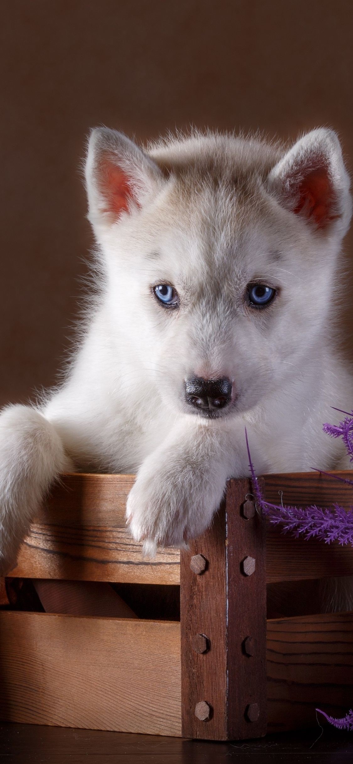 Iphone Wallpaper Blue Eyes Husky Puppy Wood Box Husky Puppy Wallpaper Iphone 3249626 Hd Wallpaper Backgrounds Download