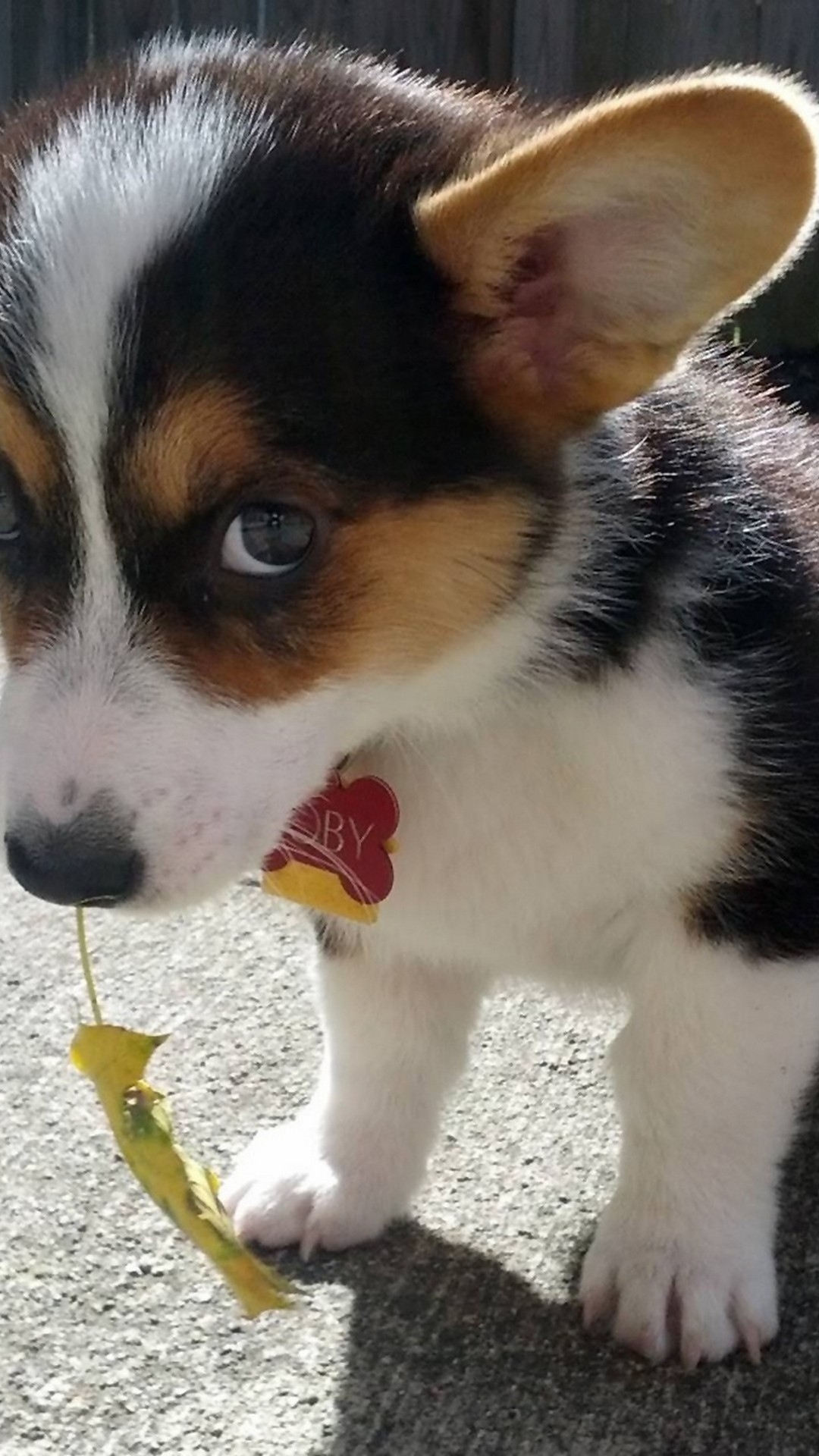 Funny Puppies Wallpaper For Iphone Resolution Shy Corgi 3250454 Hd Wallpaper Backgrounds Download