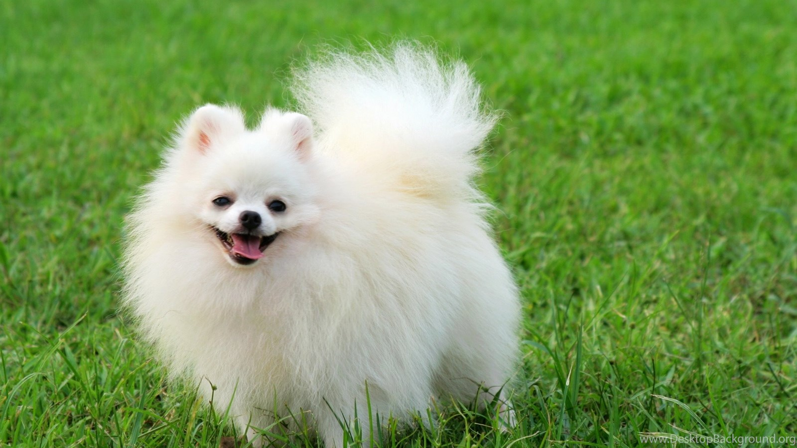 Pictures Of Pomeranian Puppies Wallpapers Hd Fine Cute Pomeranian Puppy Wallpaper Hd 3250822 Hd Wallpaper Backgrounds Download