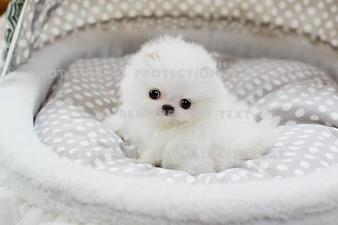 Teacup Pomeranian Puppy Lulu Cute Teacup Pomeranian Puppy 3250873 Hd Wallpaper Backgrounds Download