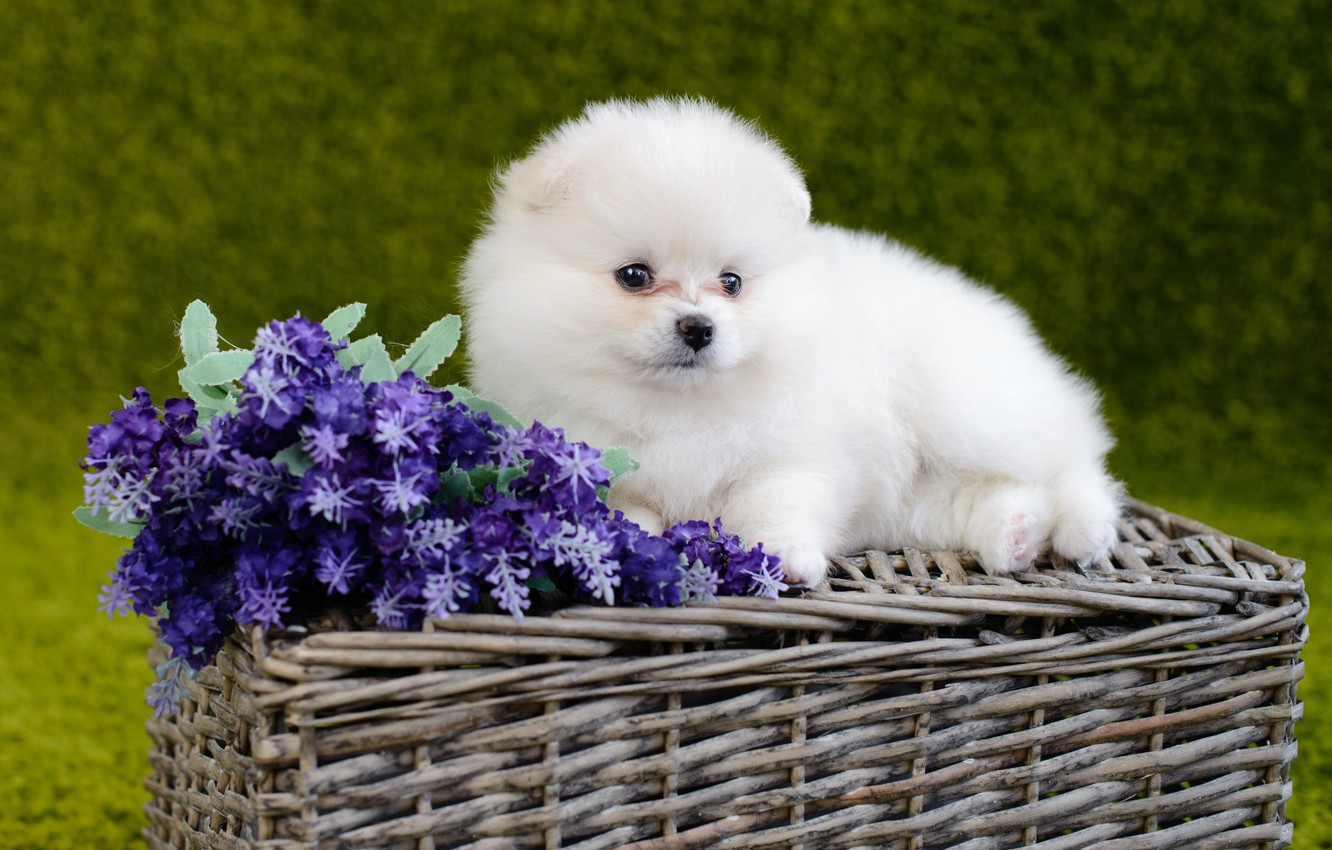 Photo Wallpaper White Flowers Dog Fluffy Baby White Baby Pomeranian Puppys 3251301 Hd Wallpaper Backgrounds Download
