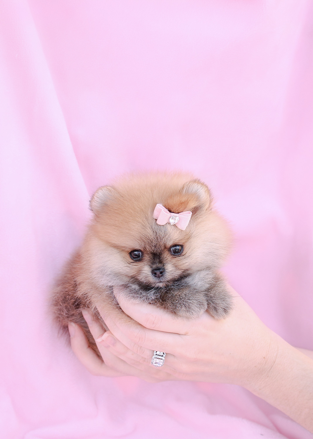 Teacup Pomeranian Puppy And Pomeranian Puppies At Teacups Pomeranian 3251405 Hd Wallpaper Backgrounds Download