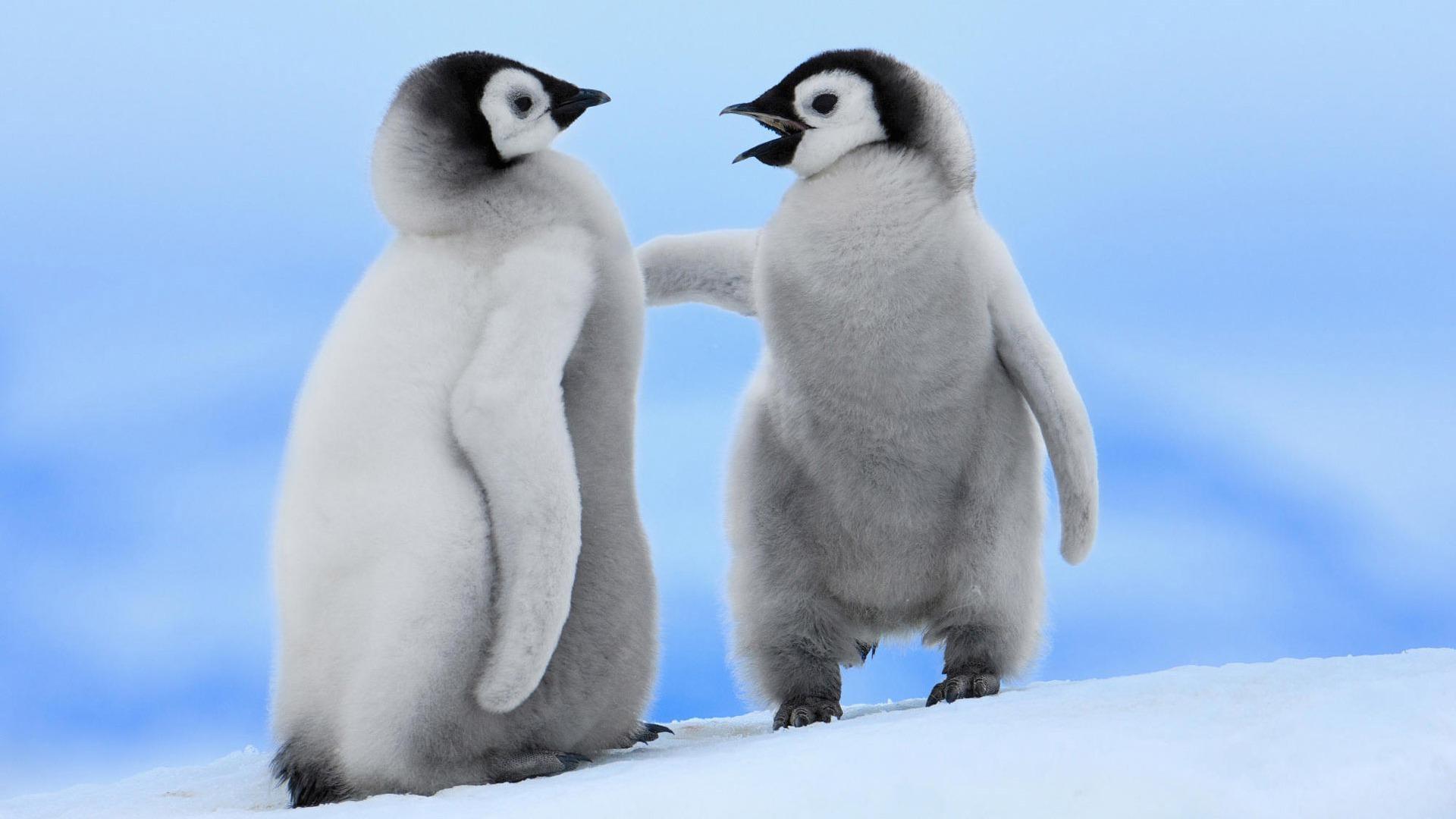 Baby Penguin Desktop Wallpaper Px, - Just Born Baby Penguin , HD Wallpaper & Backgrounds