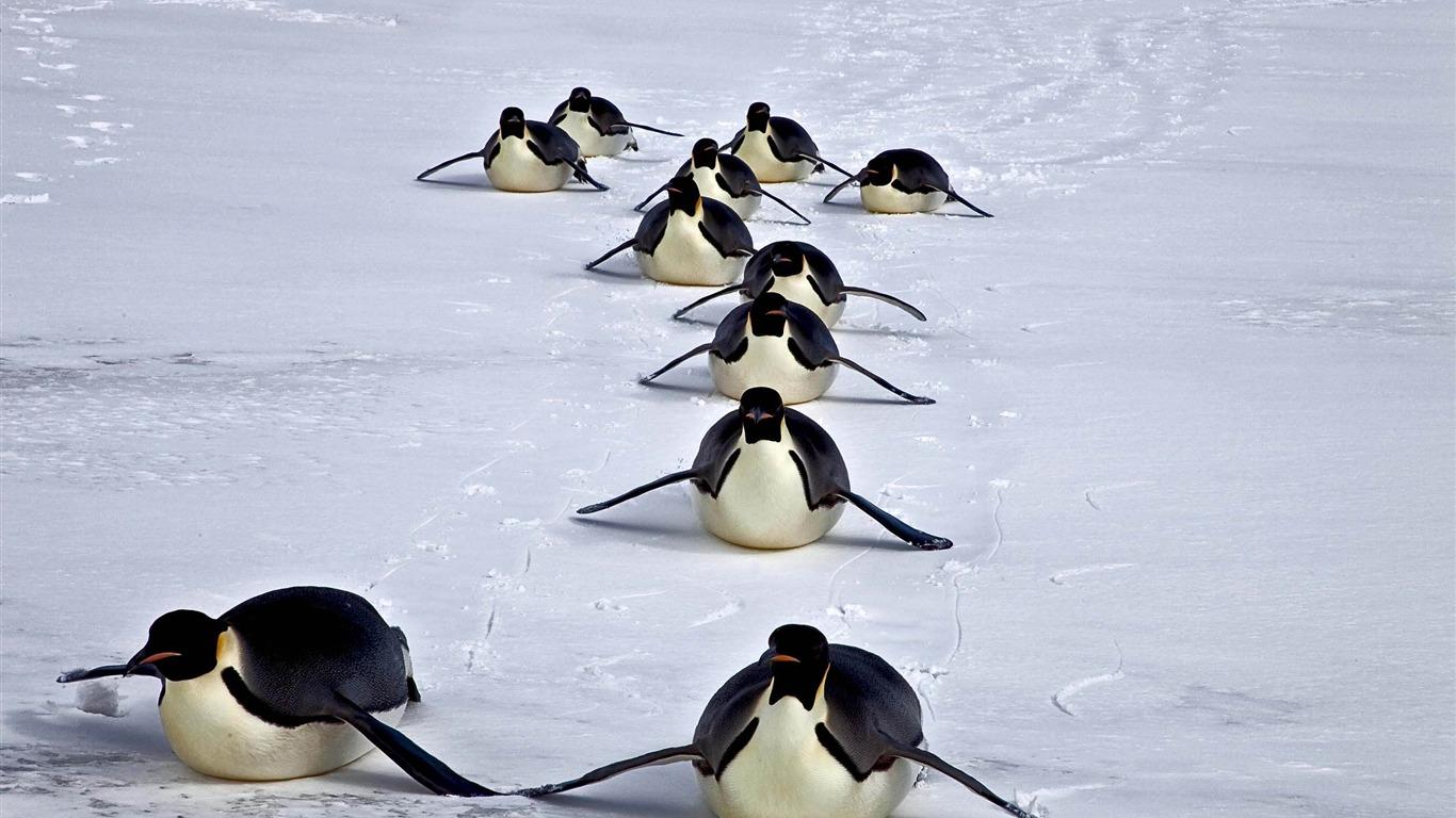 Happy Antarctic Penguins Hd Desktop Wallpaper - Adã©lie Penguin , HD Wallpaper & Backgrounds
