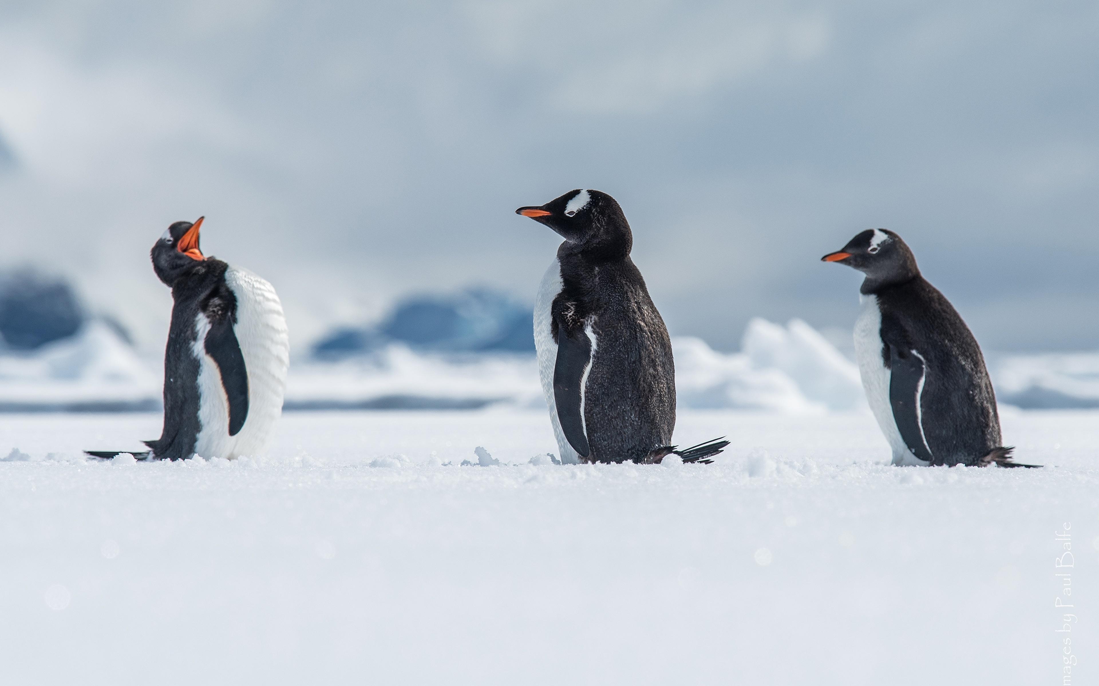 Penguin Desktop 4k , HD Wallpaper & Backgrounds