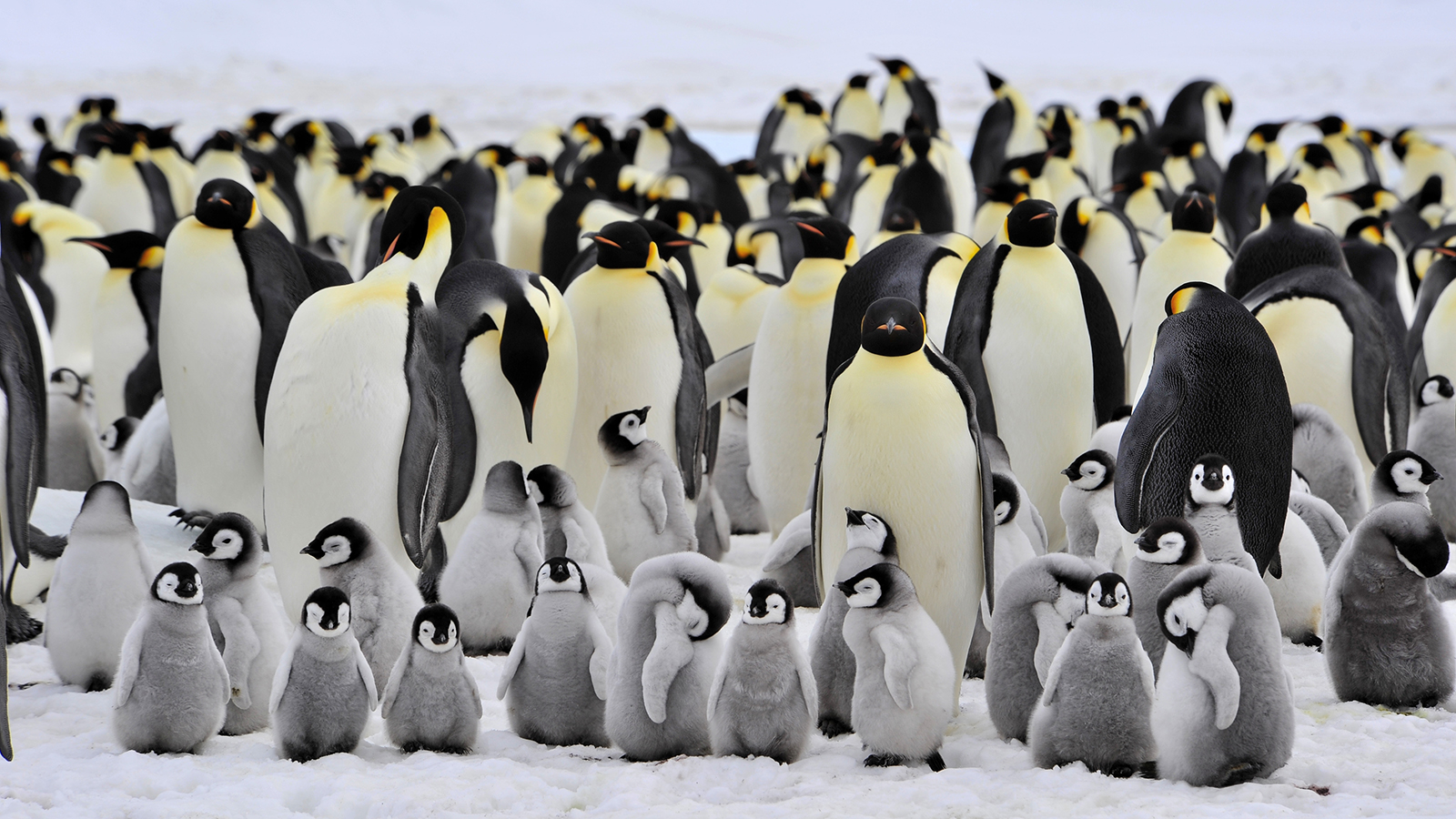 Emperor Penguin Backgrounds On Wallpapers Vista - Emperor Penguin , HD Wallpaper & Backgrounds