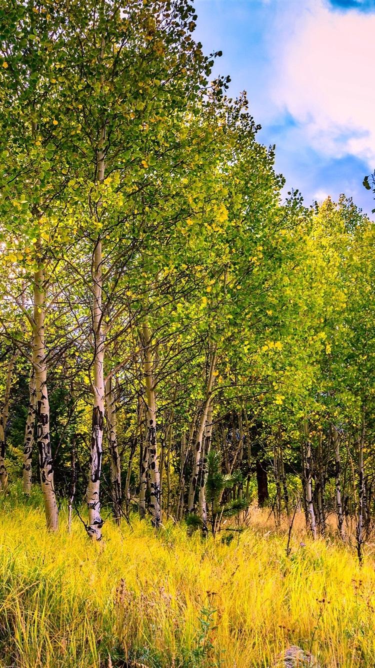 Iphone Wallpaper Usa, Colorado, Aspen Trees, Grass, - Grove , HD Wallpaper & Backgrounds