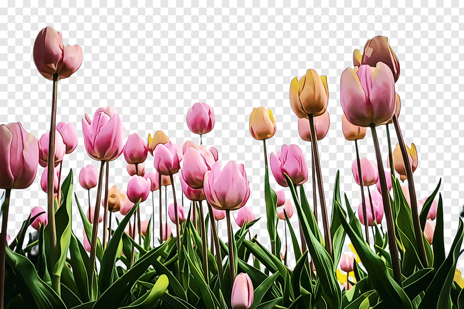 Lily Flower, Tulip, Flora, Blossom, Daffodil, Cut Flowers, - Rose Flower Plantation Png Hd , HD Wallpaper & Backgrounds