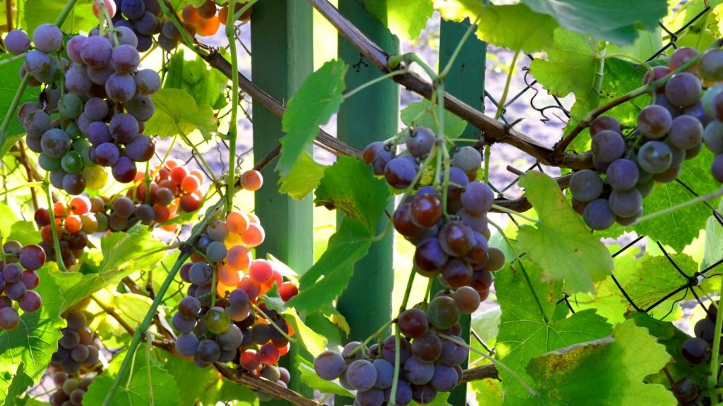 Most Beautiful Sweet Grapes Wallpaper Images For Desktop - Laptop Beautiful Wallpapersafari Desktop , HD Wallpaper & Backgrounds