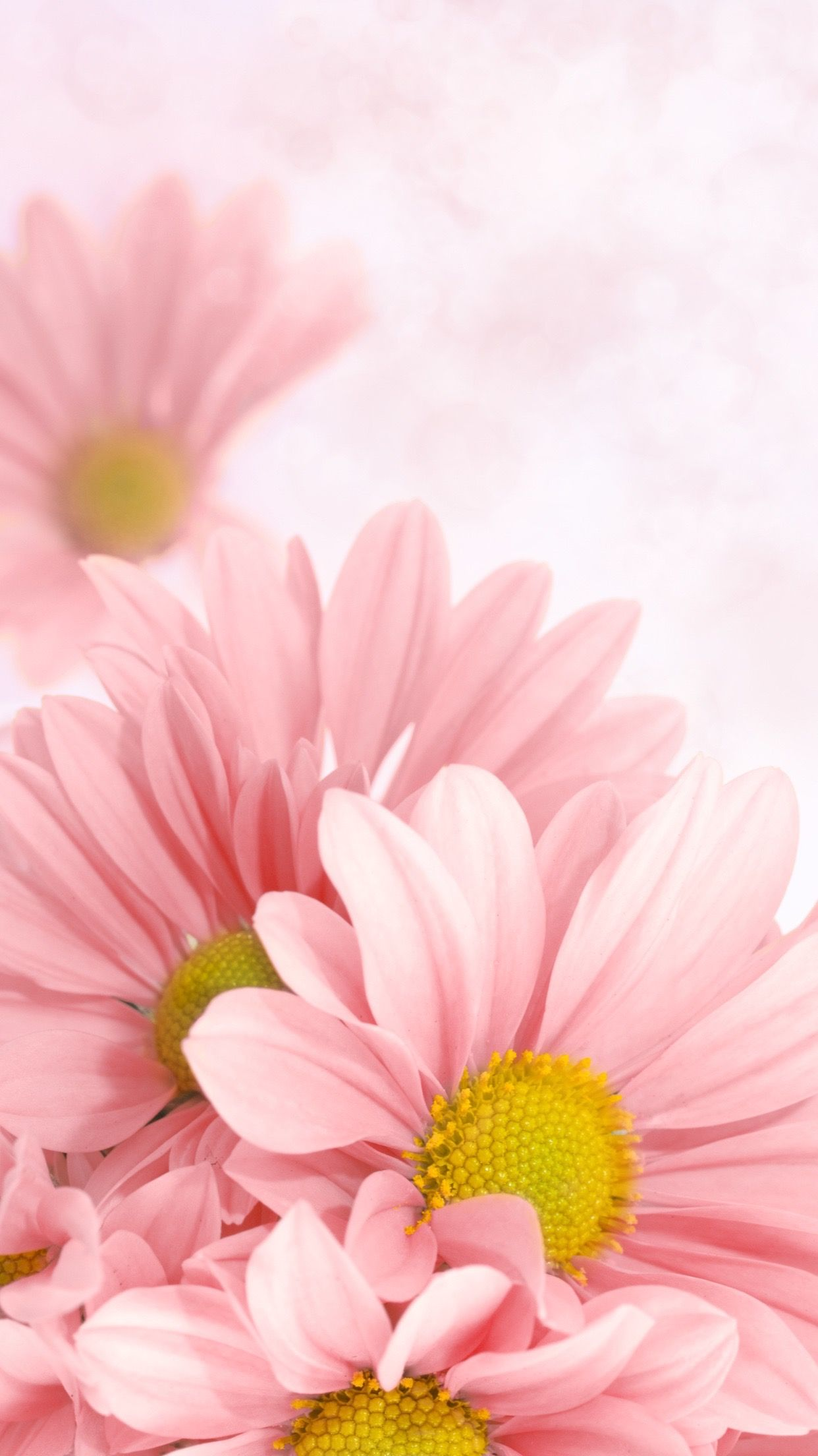 Pink Aesthetic Pink Daisy Wallpaper Flower Phone Flores