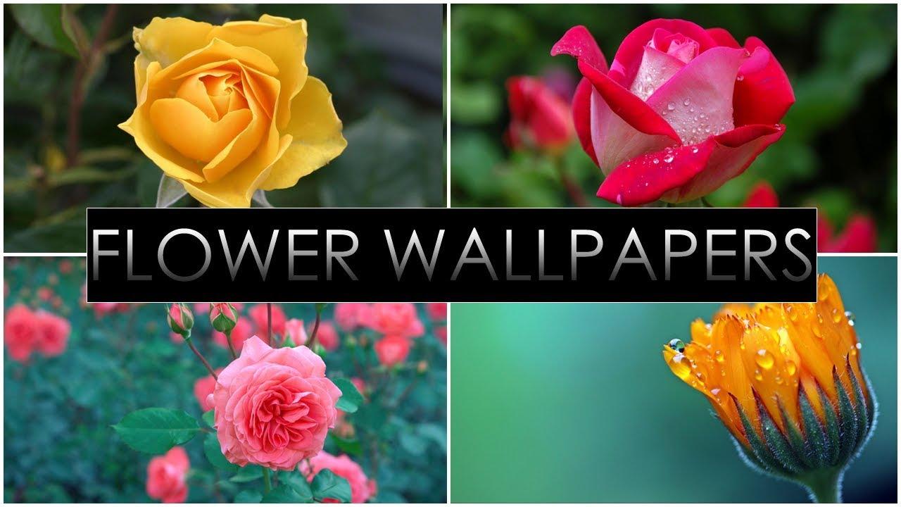 Hd Flower Wallpapers Pack - Garden Roses , HD Wallpaper & Backgrounds