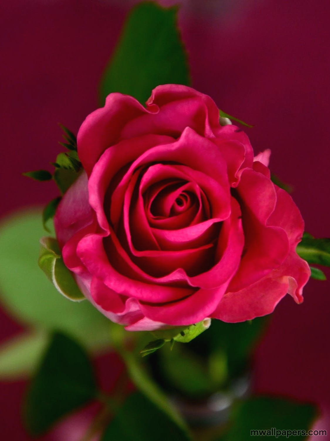 Red Rose Hd Images And Wallpapers - Red Rose Hd Flower , HD Wallpaper & Backgrounds