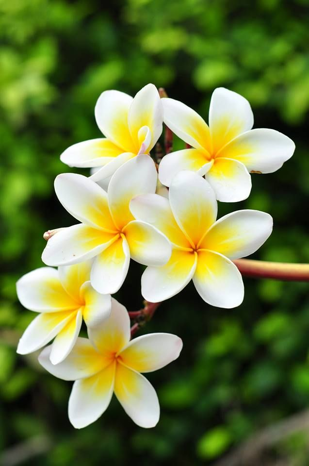 40 Beautiful Flower Wallpapers For Your Desktop Mobile - Flowers Frangipani , HD Wallpaper & Backgrounds