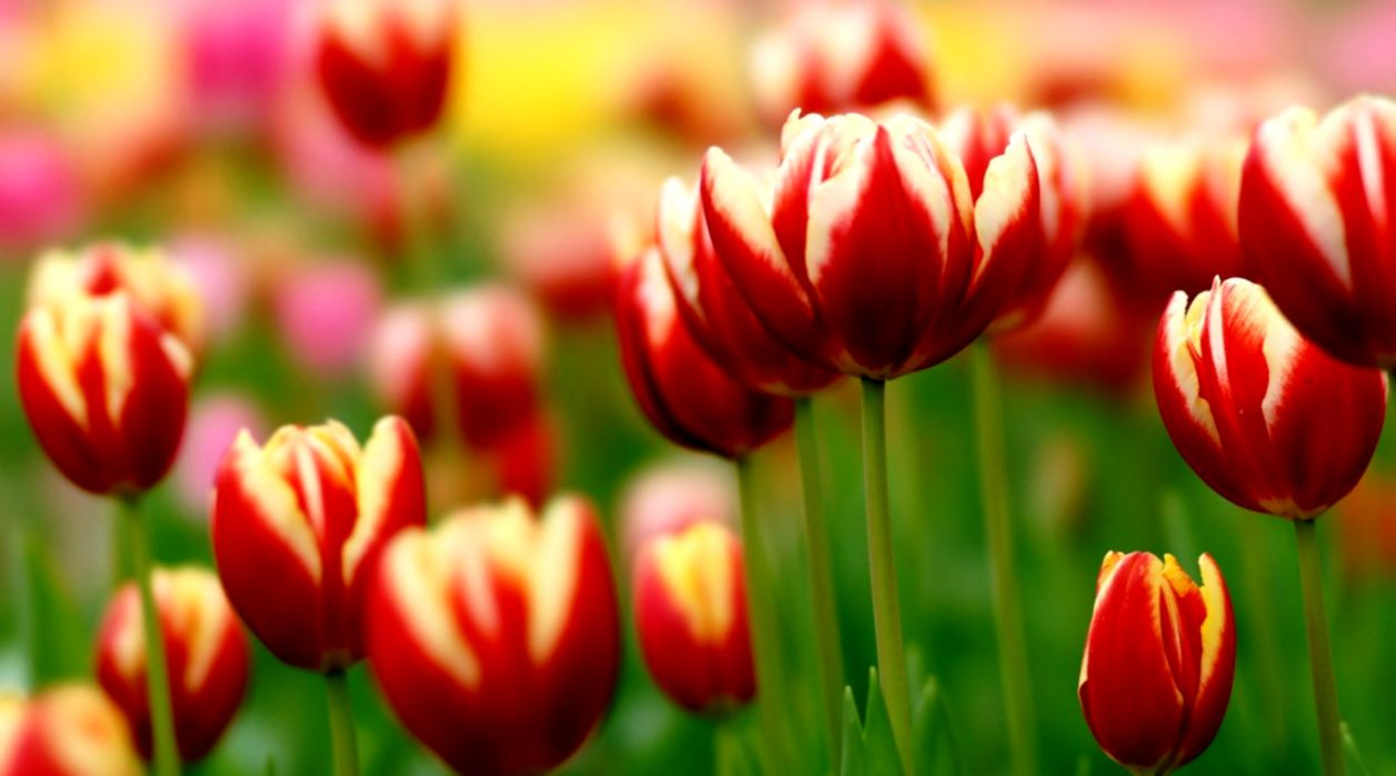 Flowers Tulips Up Close Nature Wallpapers Full Size