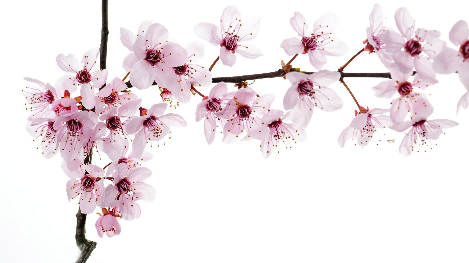 Flowers Cherry Blossoms Wallpapers Full Size - Branch Of Cherry Blossoms , HD Wallpaper & Backgrounds