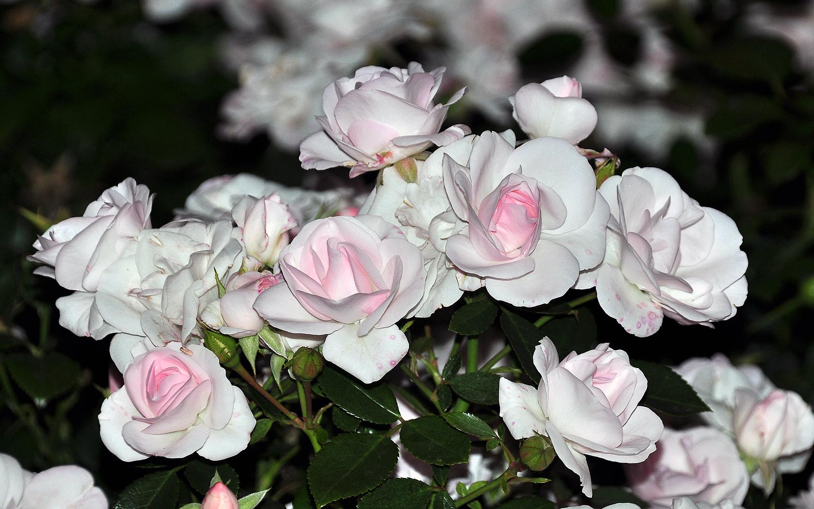 Flowers Category - Weiße Rosen Im Garten , HD Wallpaper & Backgrounds