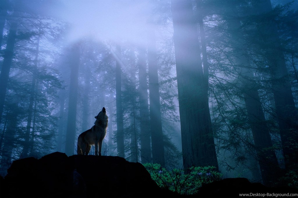 Wild Wolf In Forest , HD Wallpaper & Backgrounds
