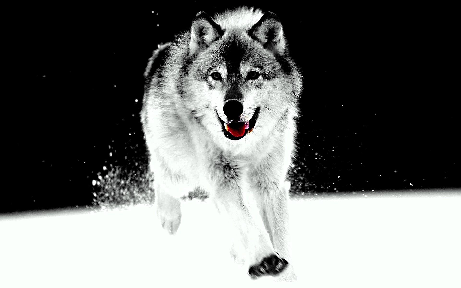 White Wolf Wallpapers Phone Hd Wallpaper Of Wolf Of Game Of