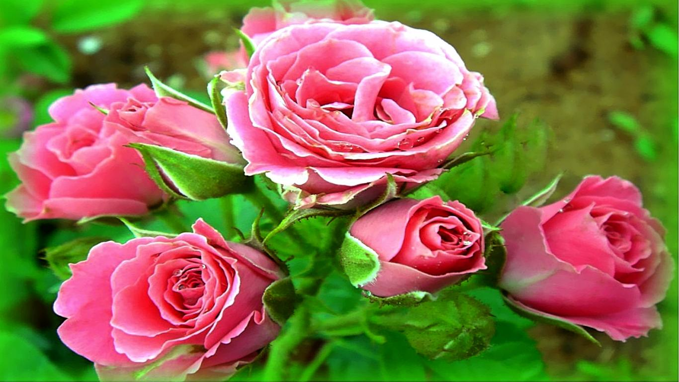 36 369172 3d rose live wallpaper free love flower images
