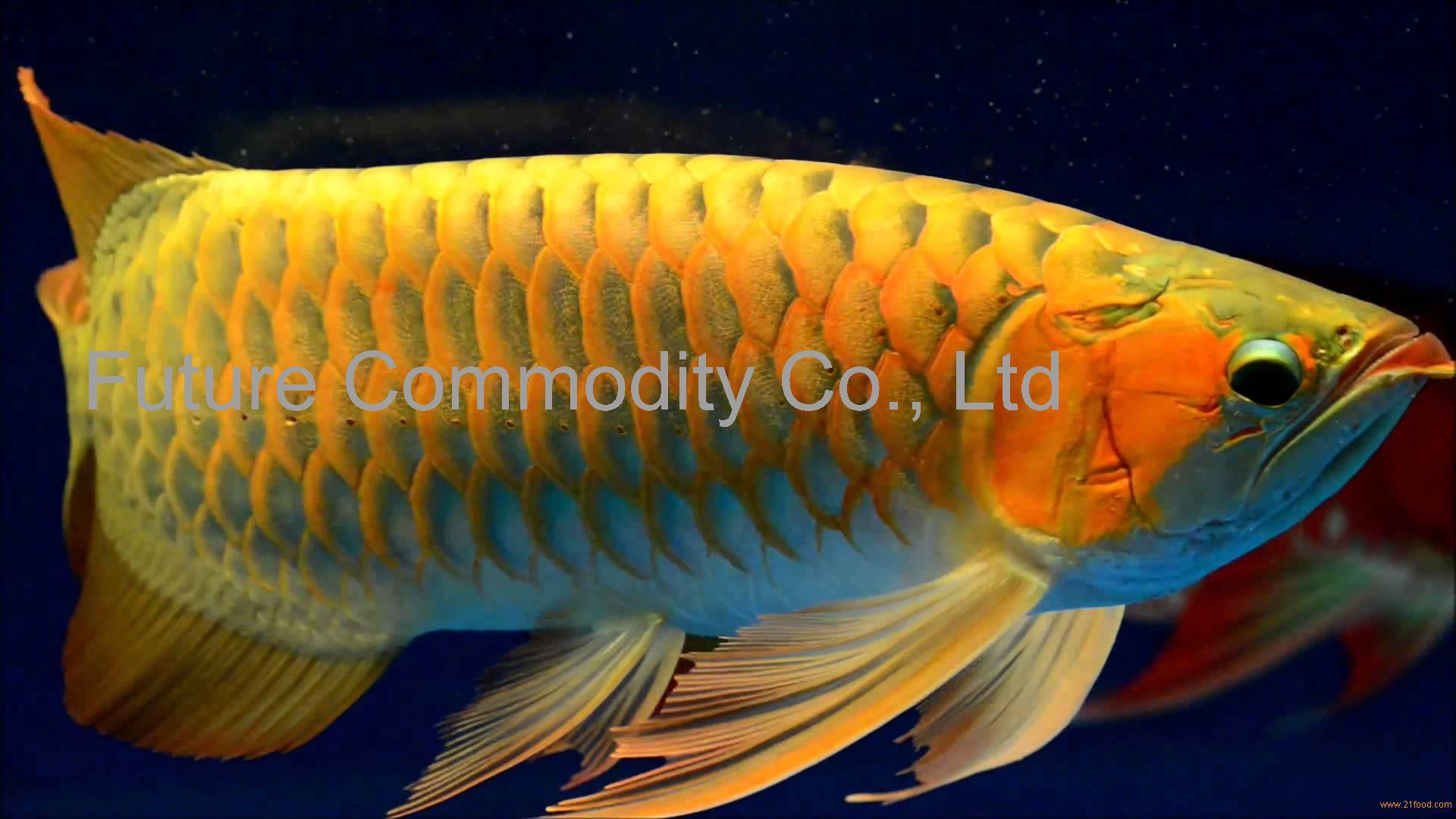 Arowana Fish Live Wallpaper - Arowana Fish Hd , HD Wallpaper & Backgrounds