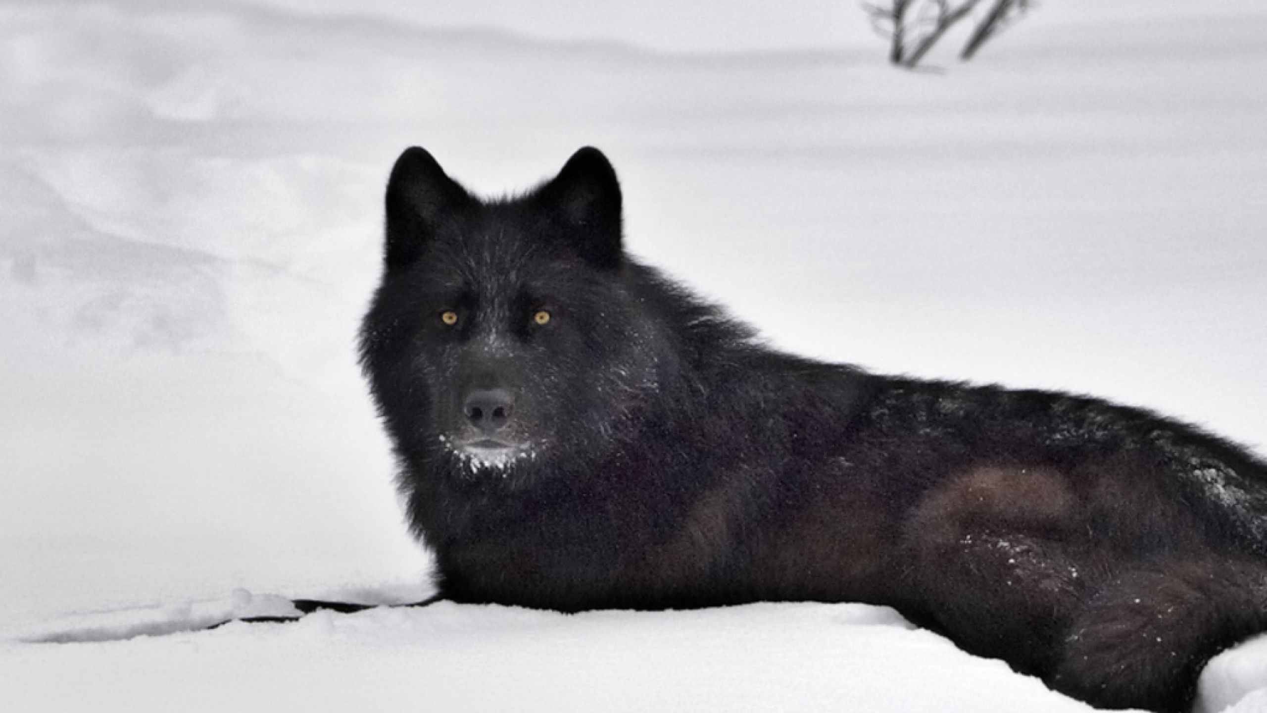 Black Wolf In Snow Wallpaper Black Wolf White Wolves 369264 Hd Wallpaper Backgrounds Download