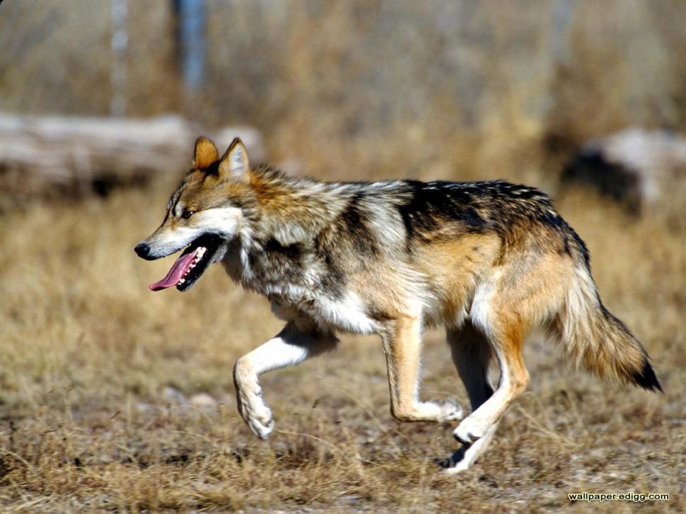 Mexican Wolf Animals Lobo Lone Solitude Wolf Hd Wallpaper - Mexican Gray Wolf , HD Wallpaper & Backgrounds