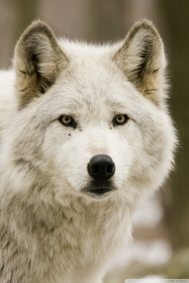 Mobile Hvga - White Wolf Iphone Wallpaper Hd , HD Wallpaper & Backgrounds