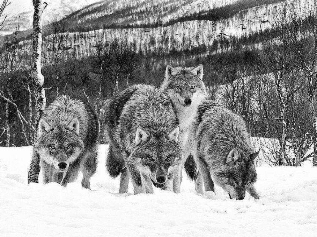 Black And White Wolf Wallpaper Wolf Pack Black And White 370156 Hd Wallpaper Backgrounds Download