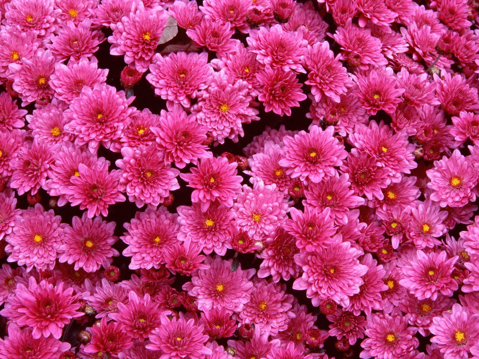 Wallpaper Gambar Bunga Pink Beautiful Flowers