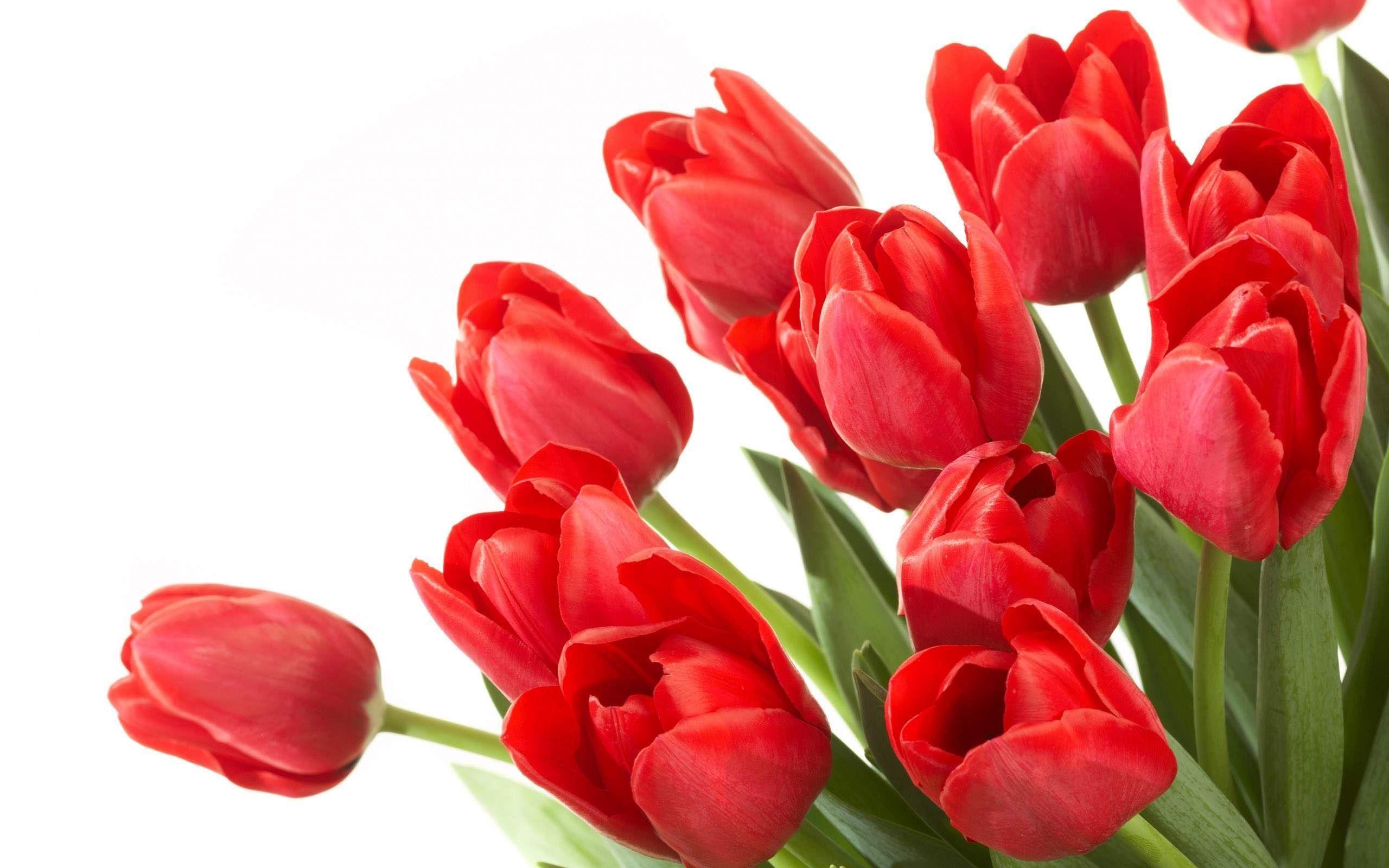 Beautiful Tulip Flowers - Trenčín Castle , HD Wallpaper & Backgrounds