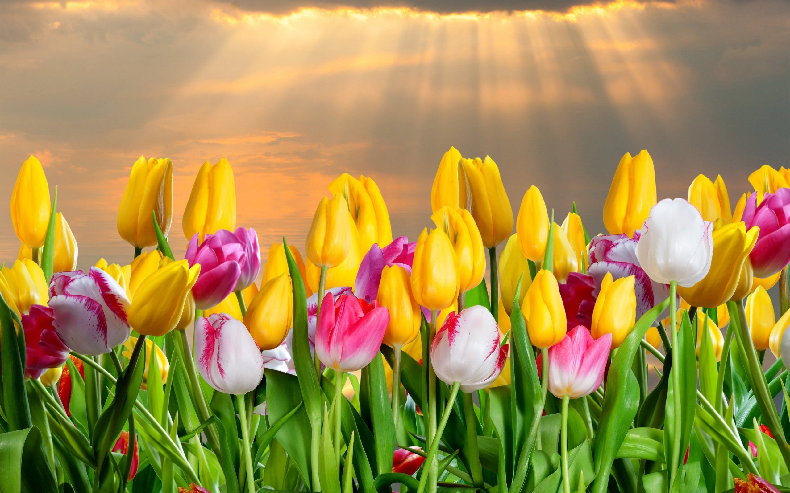 Tulips Flowers Background Hd , HD Wallpaper & Backgrounds