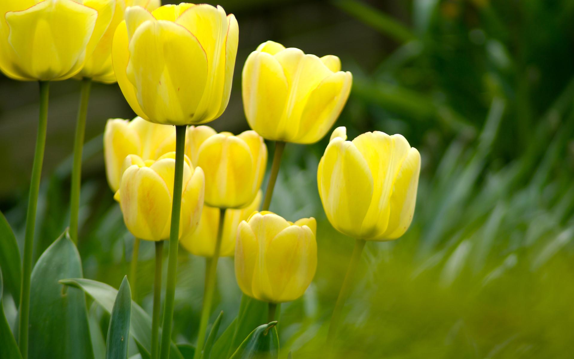 Hd Tulip Flowers , HD Wallpaper & Backgrounds