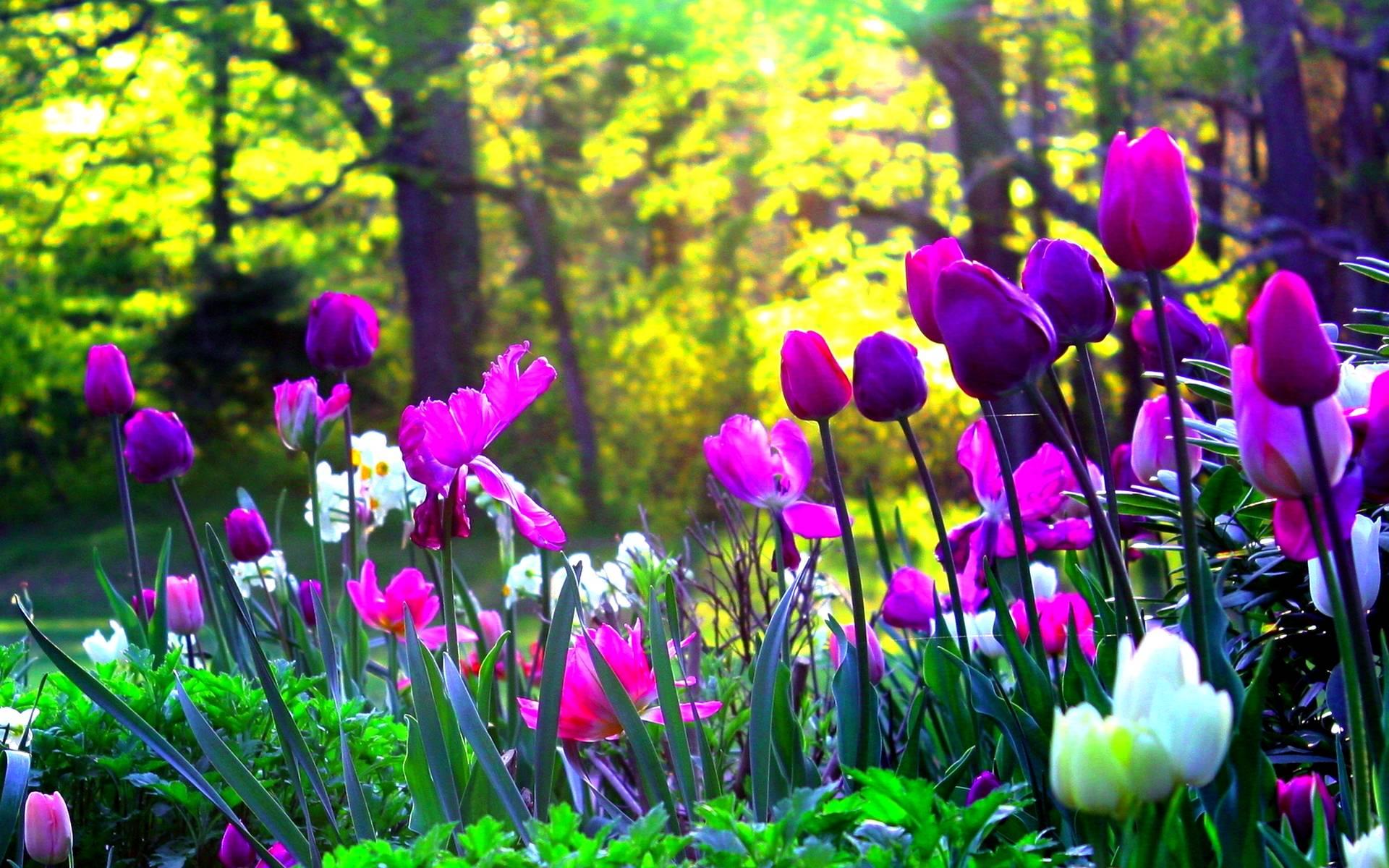 Flower - Purple Tulips Wallpaper Pc , HD Wallpaper & Backgrounds