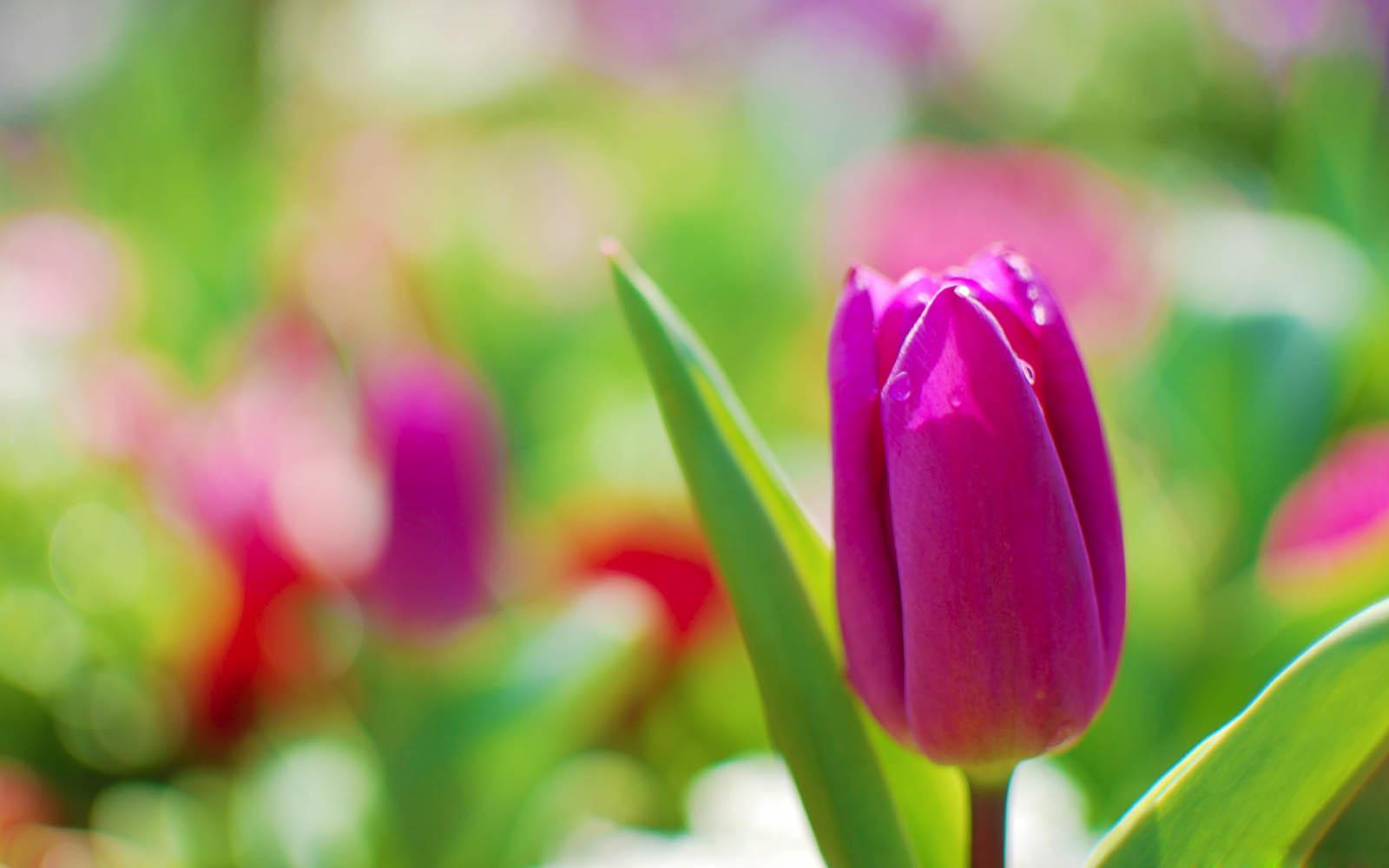 Wallpaper Tulips Flowers Wallpapers - High Resolution Tulips Flower , HD Wallpaper & Backgrounds