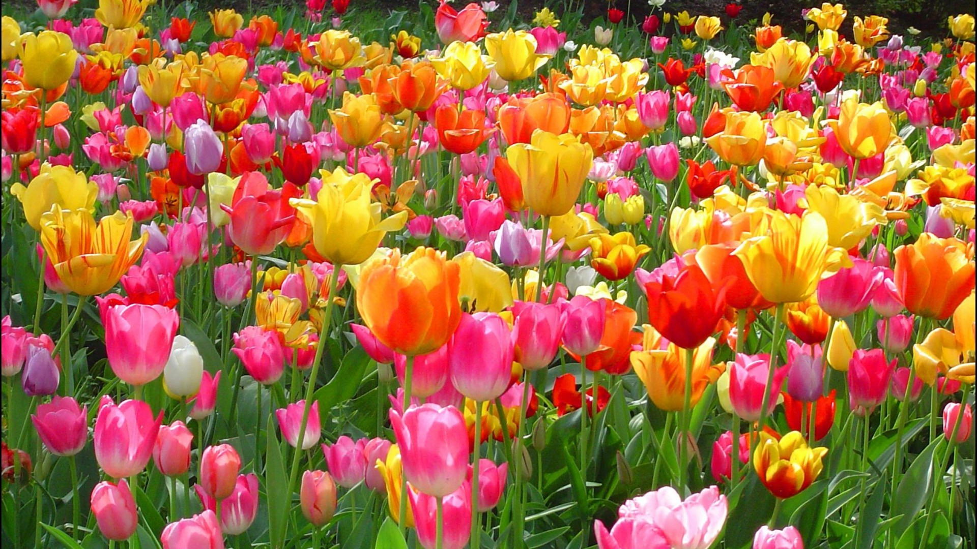 - - Tulips Flowers Images Free Download , HD Wallpaper & Backgrounds