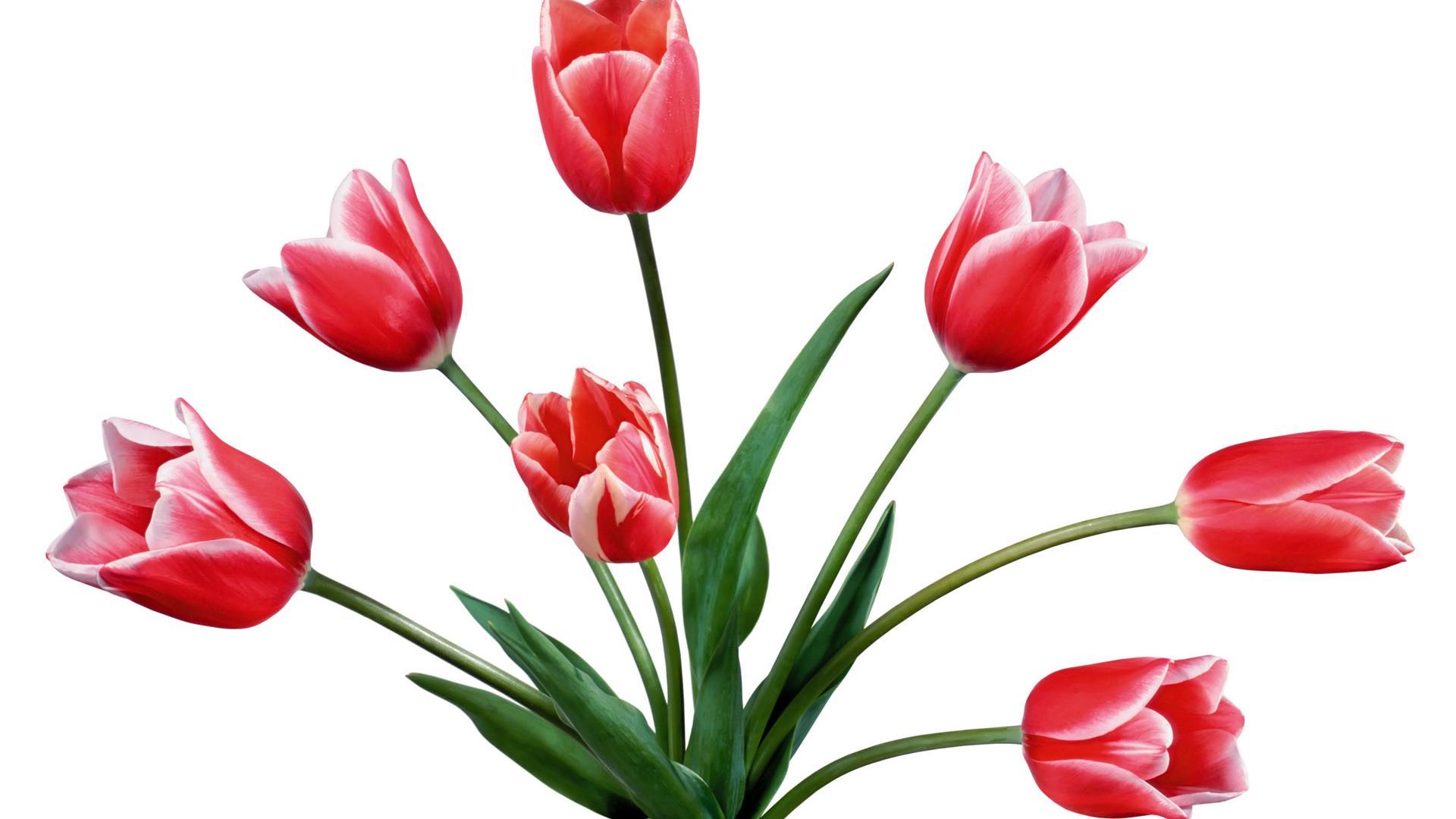 Tulip Flower Drawing - Tulip Clip Art , HD Wallpaper & Backgrounds
