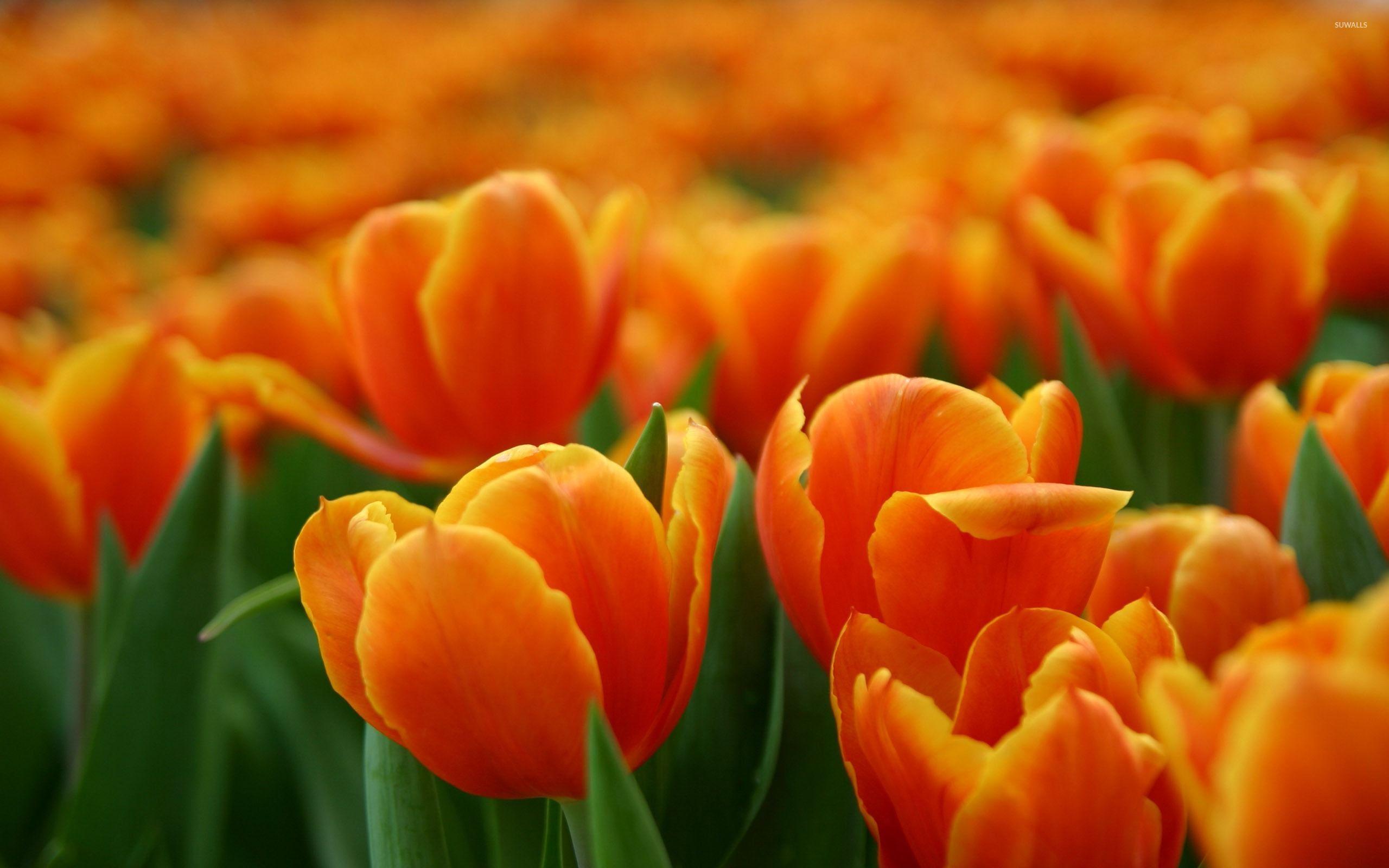 Orange Tulips [2] Wallpaper - Orange Tulips , HD Wallpaper & Backgrounds