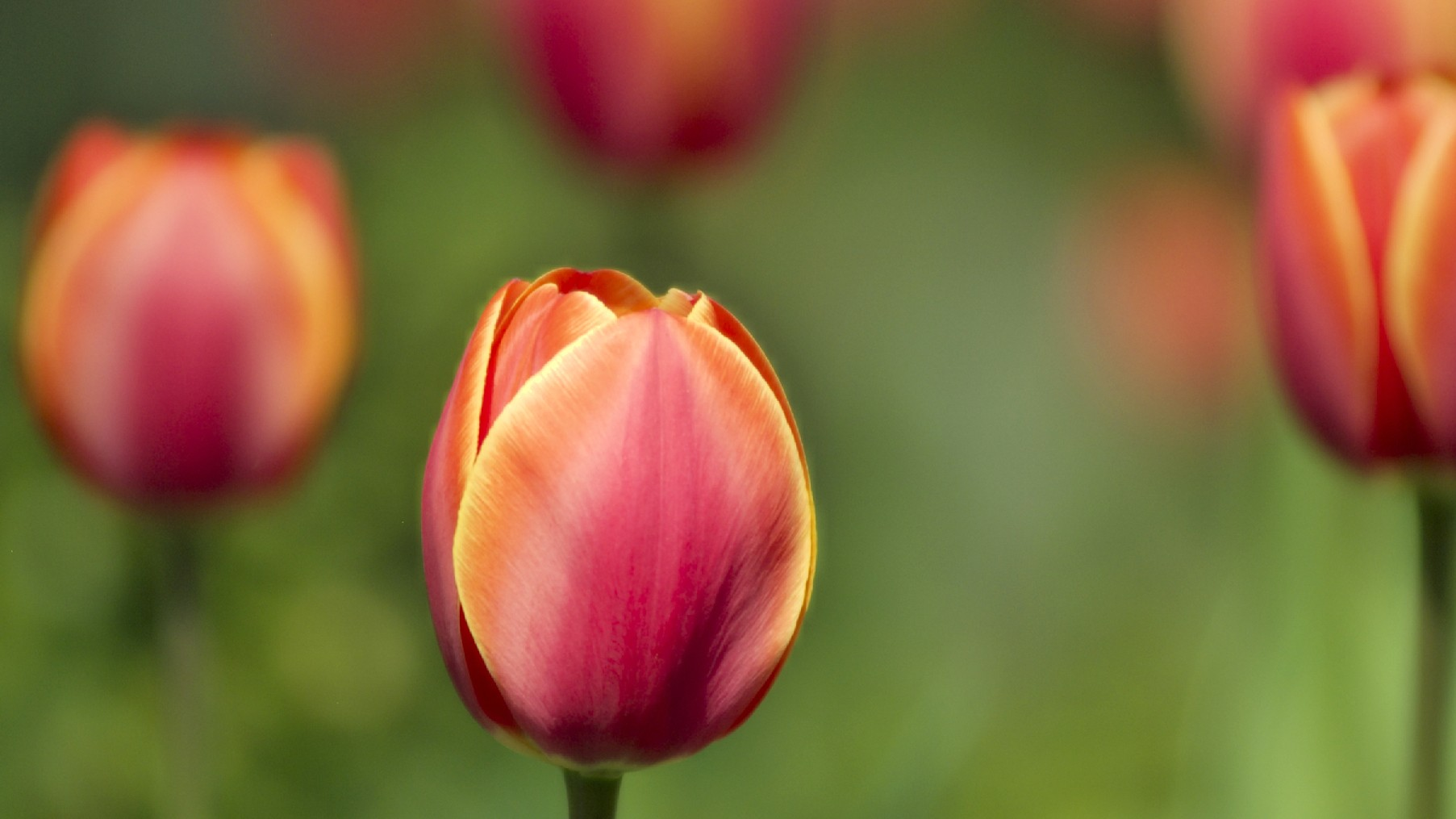 Tulips, Flower Wallpapers, Nature Images, Plants, Hd - Sprenger's Tulip , HD Wallpaper & Backgrounds