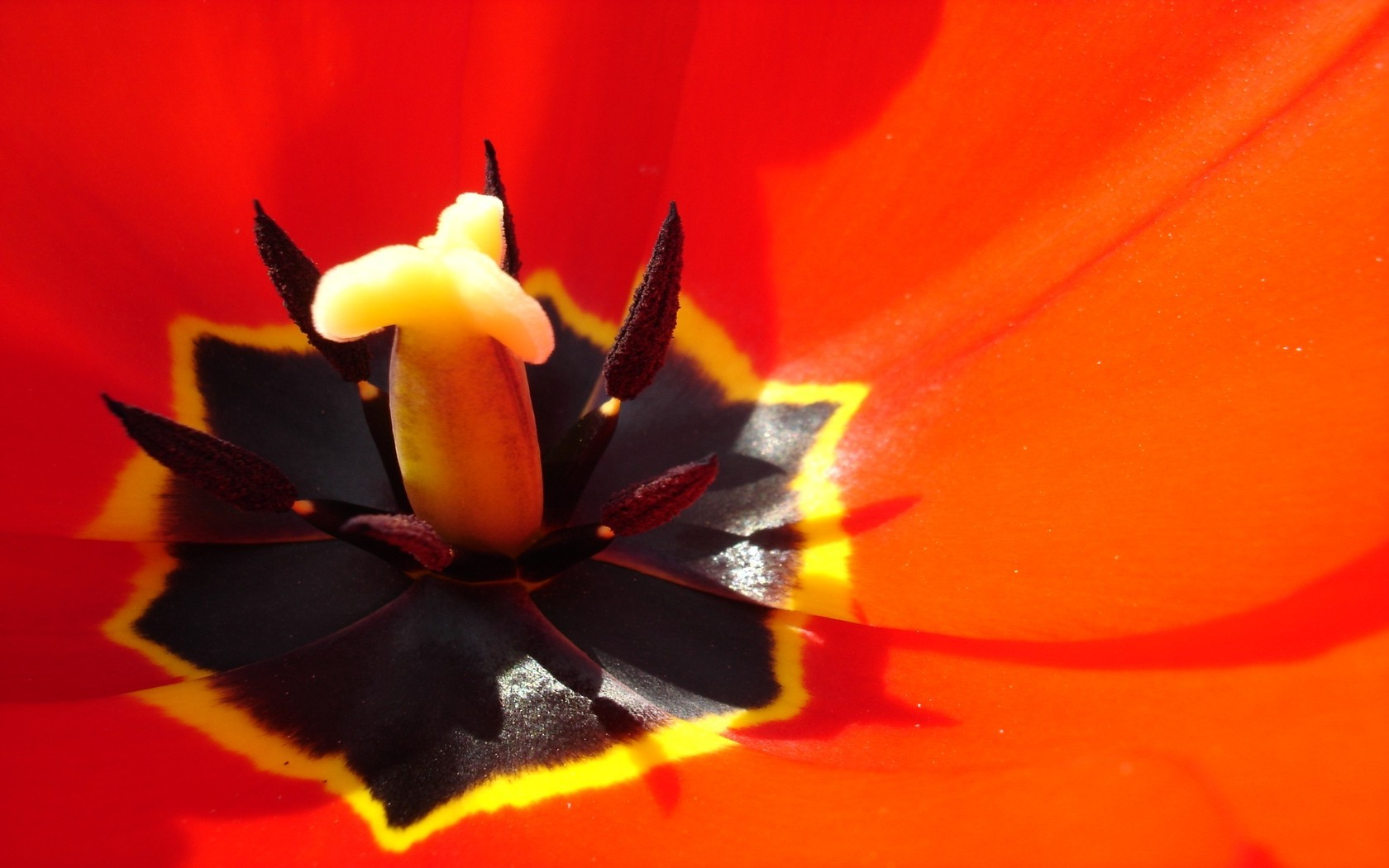 Tulips, Flowers, Macro, Closeup, Red Flowers Wallpapers - Macro Photography , HD Wallpaper & Backgrounds