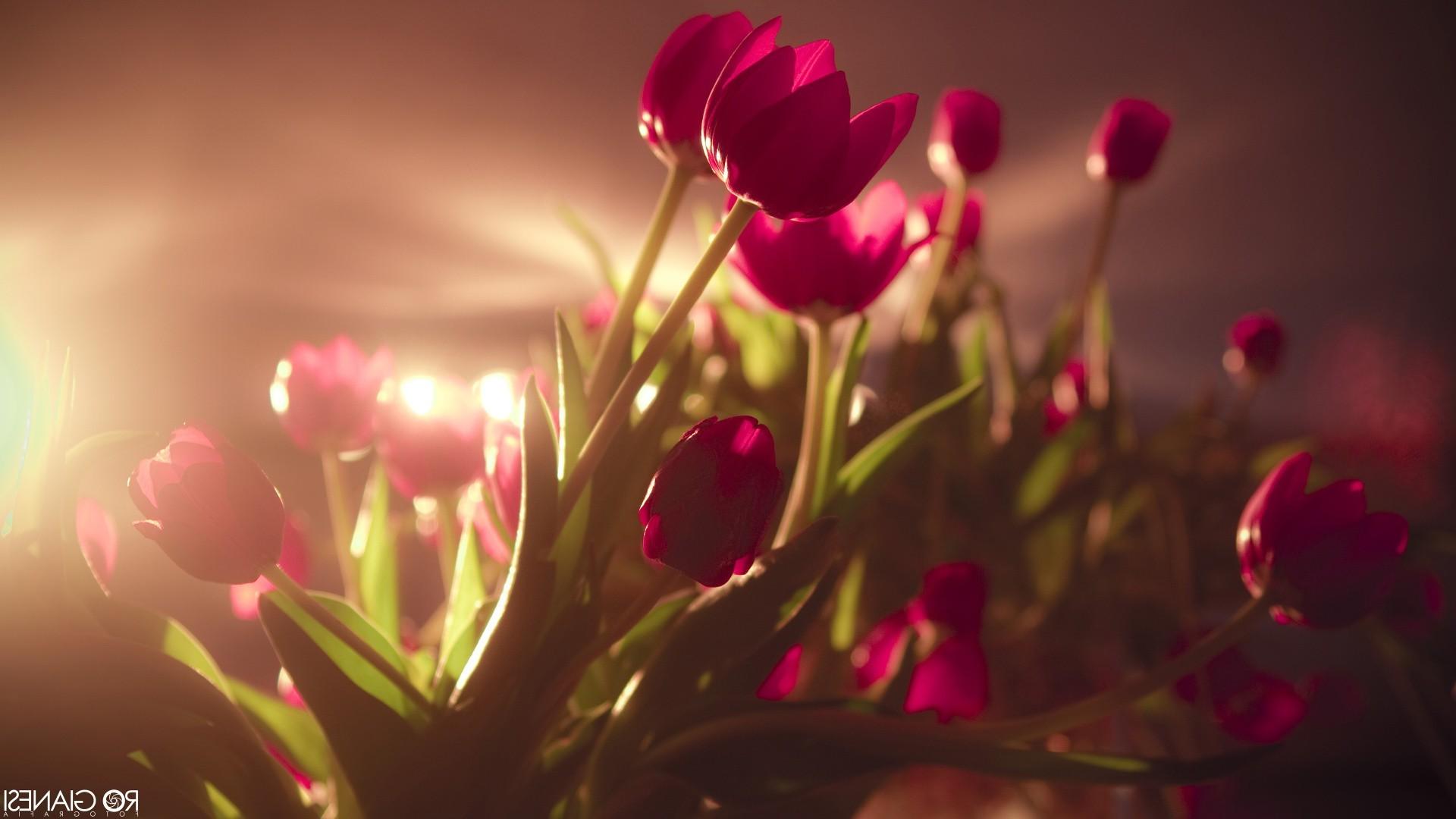 Tulip Flower Hd Wallpaper - Pink Flowers In Sunlight , HD Wallpaper & Backgrounds
