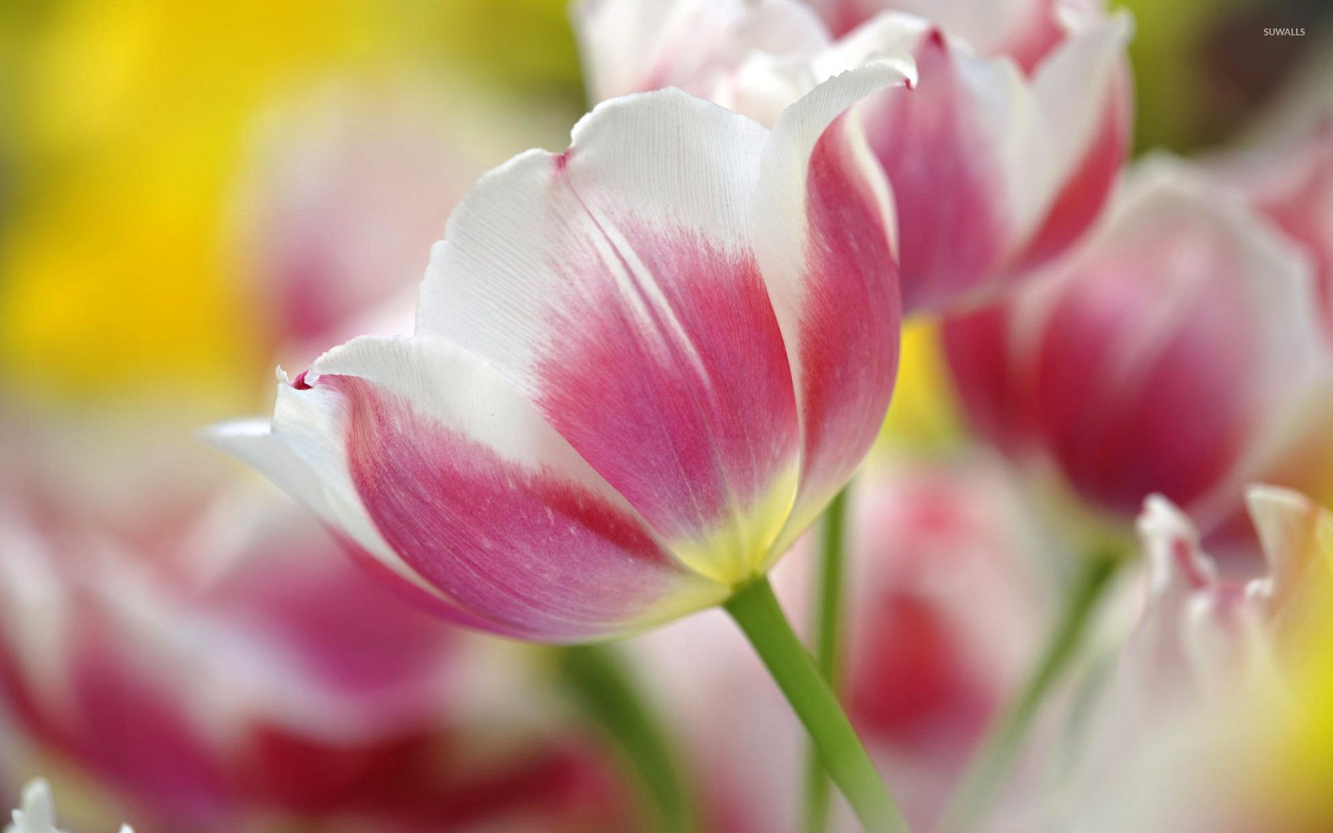 Pink And White Tulips Wallpaper - Pink And White Tulips , HD Wallpaper & Backgrounds