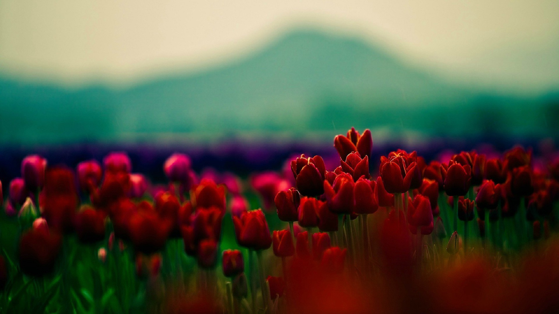 Plants Depth Of Field Tulips Flowers Red Flowers Wallpaper - Red Roses Facebook Cover , HD Wallpaper & Backgrounds